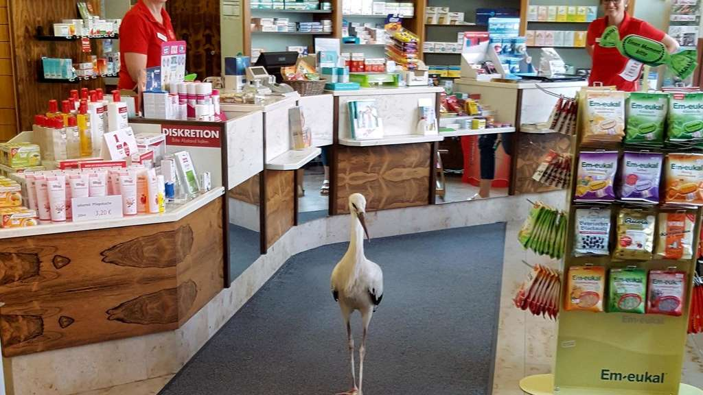 Storch stakst in Apotheke