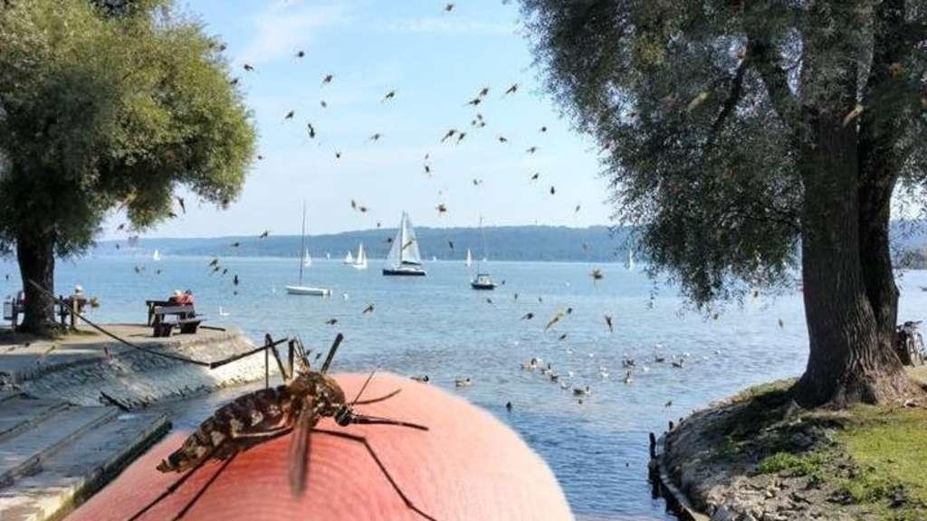 Mückenplage Ammersee